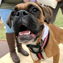 Meet Martha the bouncy Boxerdog